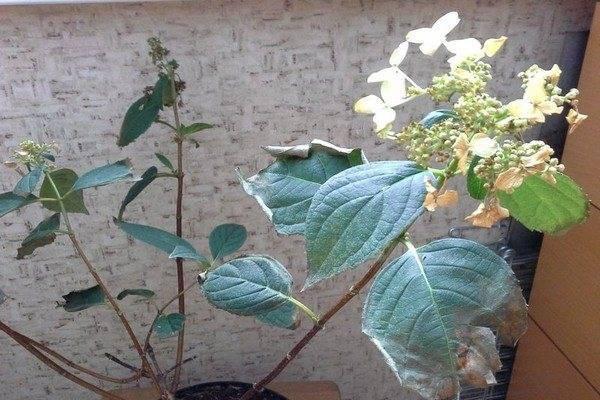 Почему у гортензии сохнут листья и как с этим бороться