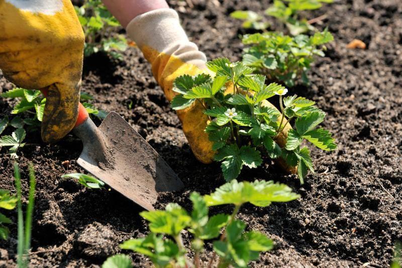 Когда сеять клубнику на рассаду