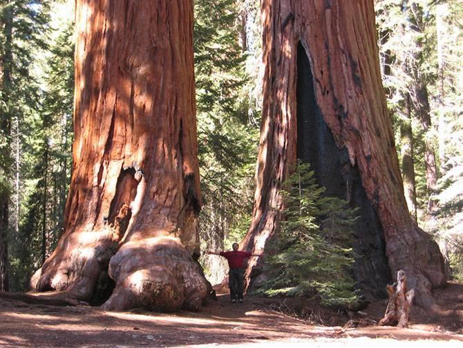 Гигантская вечнозеленая секвойя – самое большое дерево в мире. величественное дерево секвойя покоряет всех своей помпезностью растет секвойя вечнозеленая на высоту 80 метров