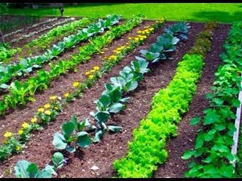Узкие грядки и умные подкормки: огород по методу джекоба миттлайдера