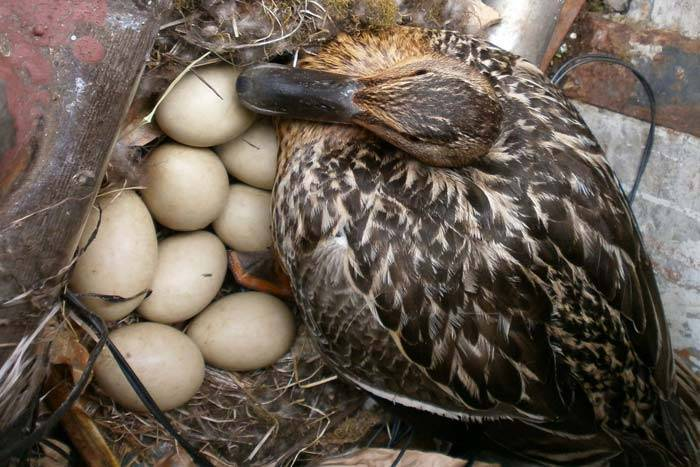 Инкубация утиных яиц: режимы инкубации в домашних условиях. особенности и правила выращивания уток (110 фото)