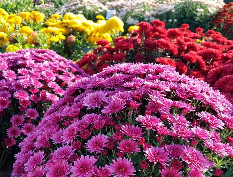 Хризантема — золото вашего сада!