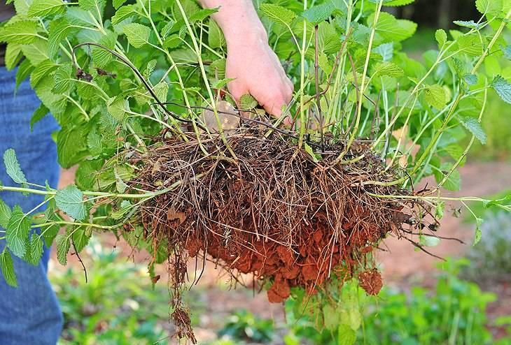 Выращивание мелиссы