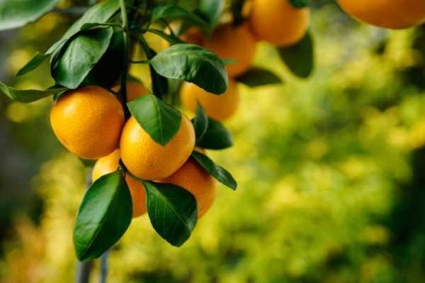Мандарин: посадка, выращивание, уход и размножение в домашних условиях