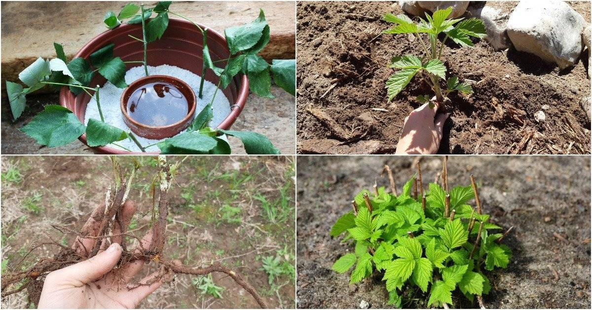 Выращивание малины черенками