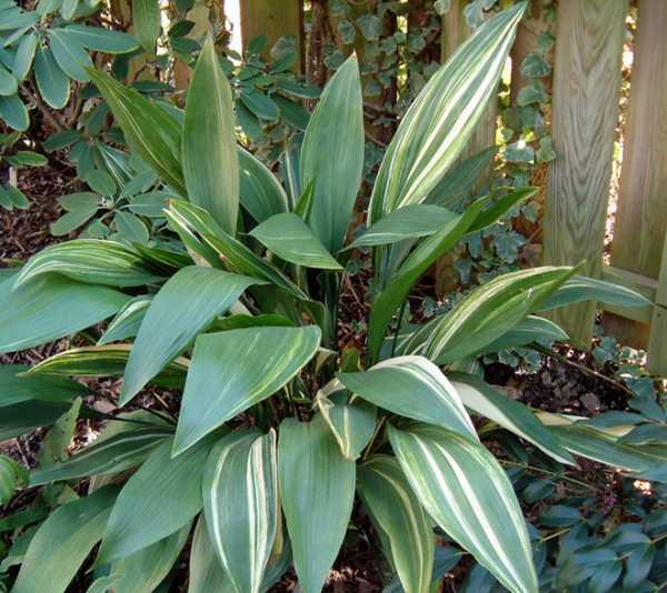 Растение аспидистра уход в домашних условиях размножение и пересадка фото сортов и цветения