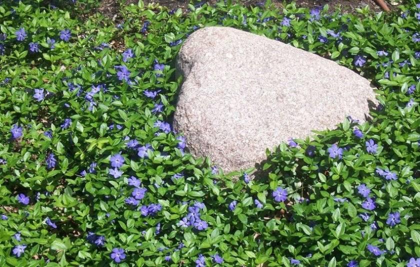 Барвинок - лечебные свойства и противопоказания