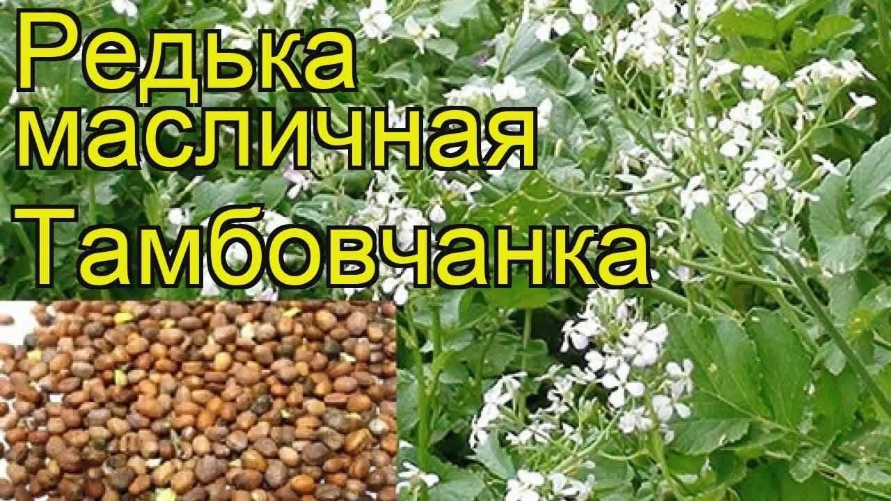 Технология посева редьки масличной как сидерата