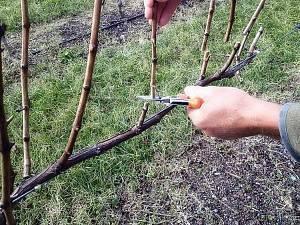 Обрезка винограда весной с видео для начинающих
