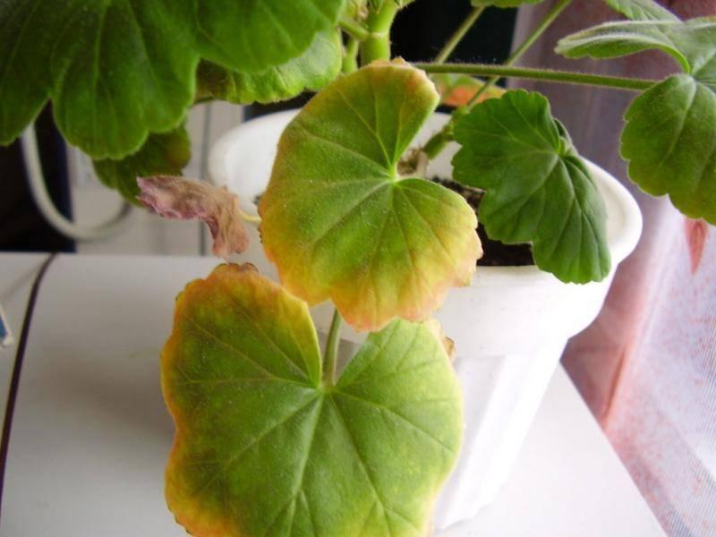 Что приводит к пожелтению листвы пеларгонии и как помочь растению?
