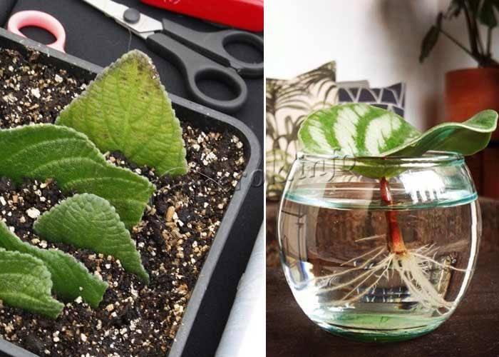 Все о размножении глоксинии черенками: правила посадки и укоренения верхушек побегов