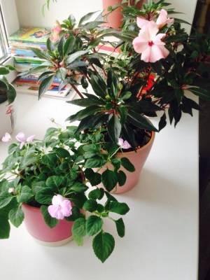 Бальзамин комнатный — уход в домашних условиях