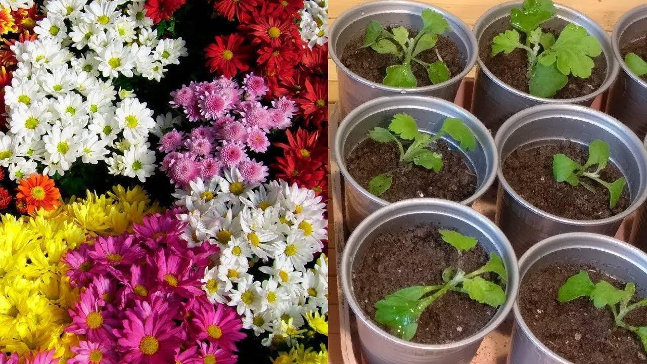 Как вырастить рассаду хризантем из семян