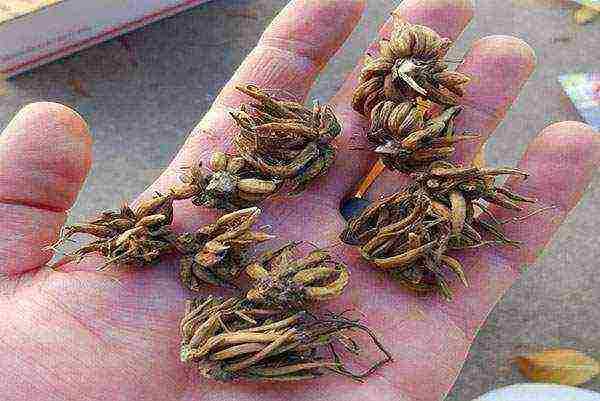 Ранункулюс — посадка и уход, выращивание, фото