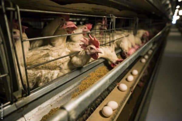 Когда куры молодки начинают давать яйца, то есть нестись