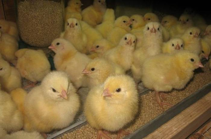 Комбикорм для ваших цыплят от а до я