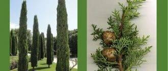 Кипарисы на даче. можно ли выращивать кипарис на урале?
