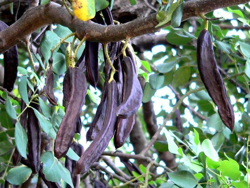 Вместо шоколада: как применять сироп рожкового дерева и чем полезен кэроб