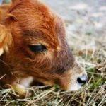 Как помочь теленку, который не может встать на ноги?