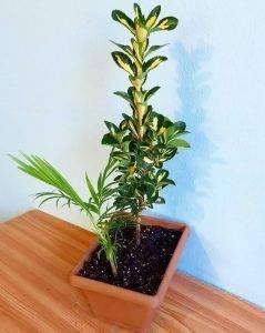 Бересклет японский: описание и уход за растением