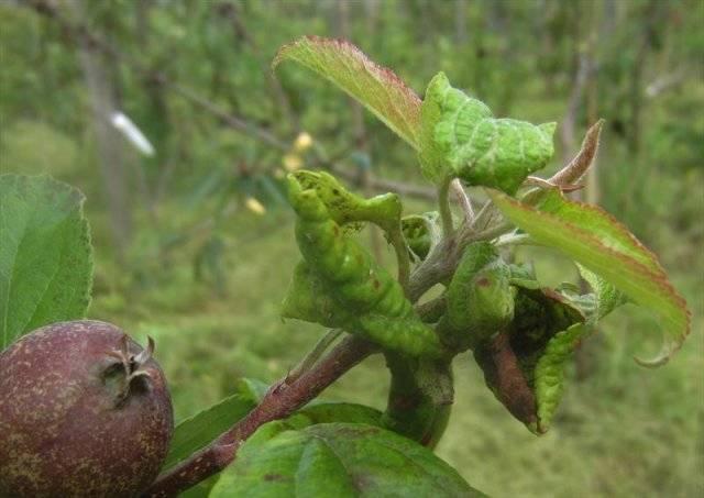 Почему у яблони скручиваются листья — что делать