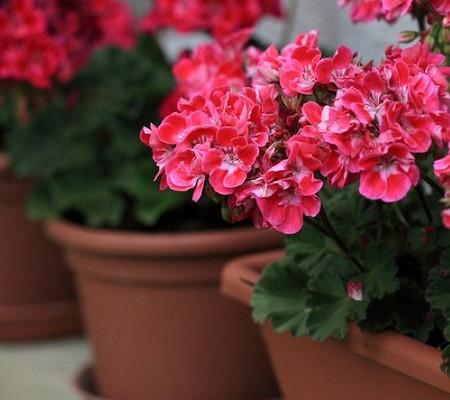 Герань тюльпановидная - правила ухода, семена растения, фото и видео