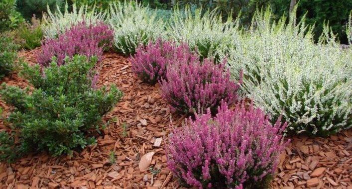 Вереск в саду: сажаем и выращиваем