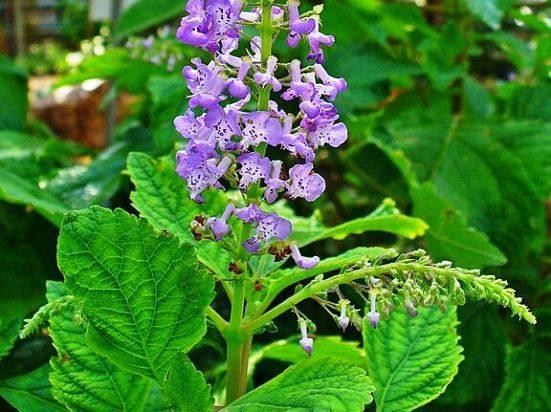 Плектрантус: разновидности, советы по уходу при выращивании
