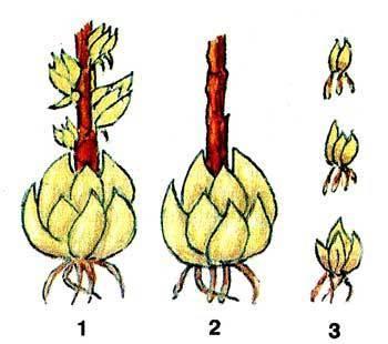 Размножение лилий — четыре основных способа
