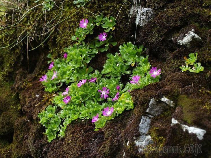 Как выглядит примула махровая выращивание цветка из семян