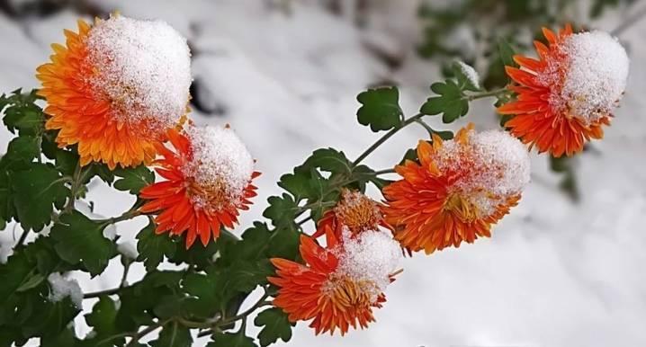 Подготовка цветов–многолетников к зиме