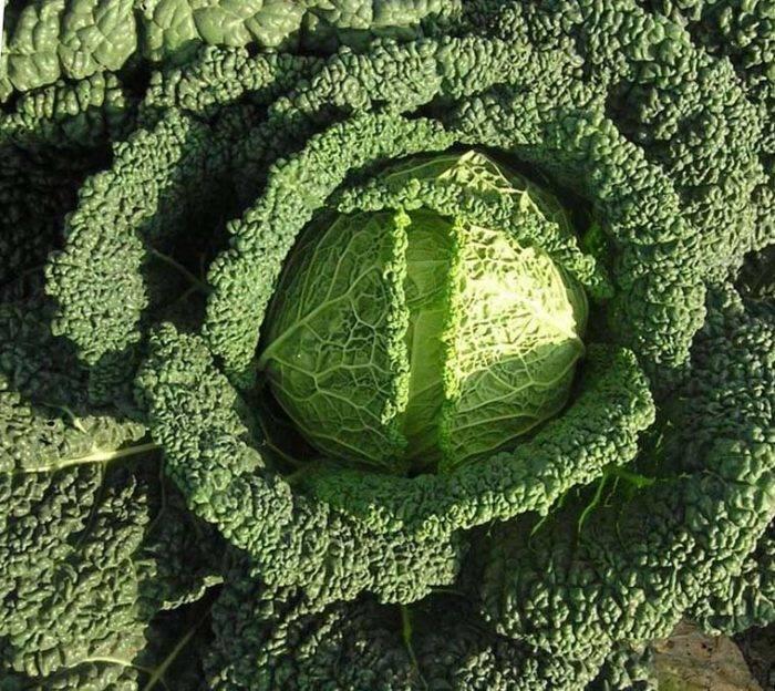 Правила посадки и выращивания савойской капусты в открытом грунте