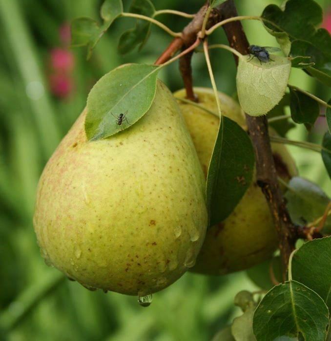 Подмосковные сорта груши: описание, фото и особенности выращивания