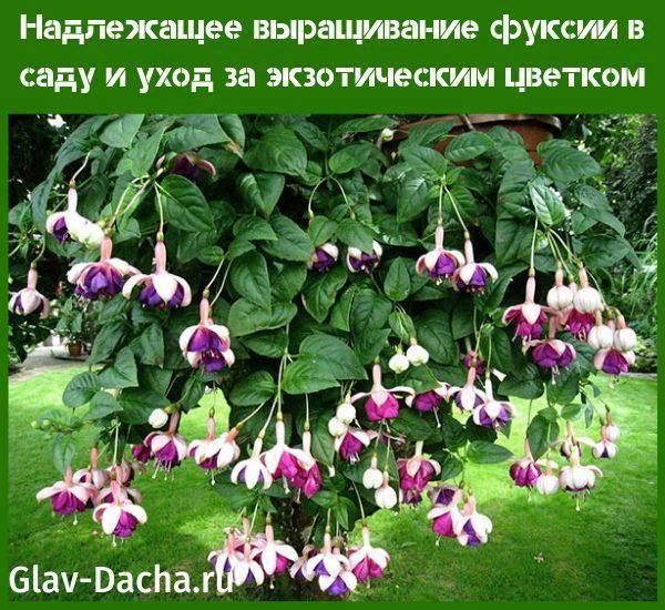 Выращивание фуксии в саду и уход за многолетним растением