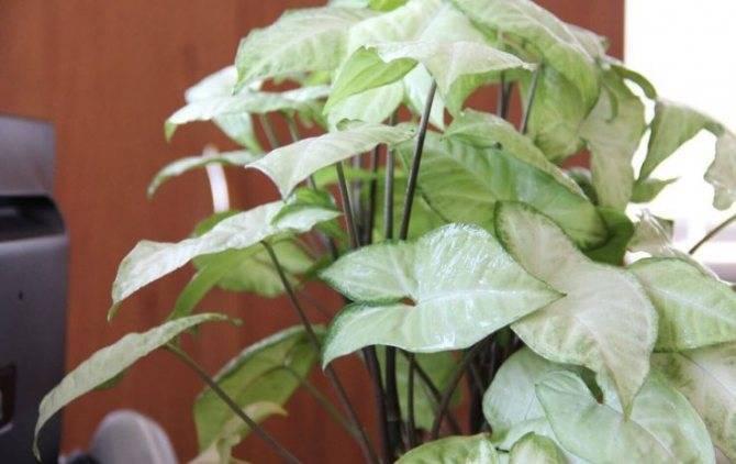 Тропики на подоконнике, или как вырастить цветок сингониум в доме