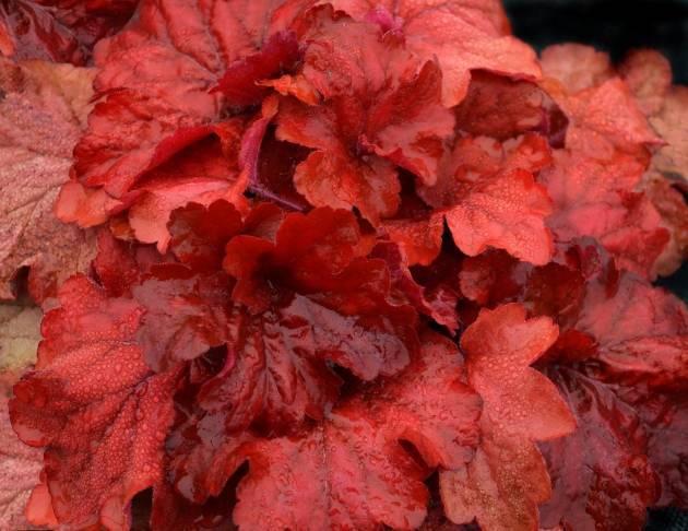 Особенности выращивания и ухода за мукденией карасуба