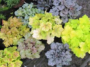 Гейхера: выращивание в саду, виды и сорта