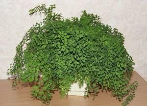 Адиантум (adiántum) или венерин волос. уход,  размножение в домашних условиях.