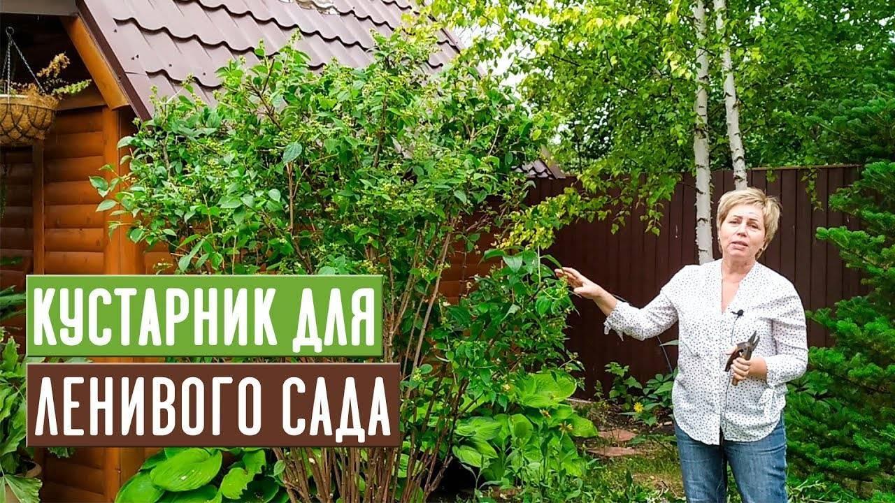 Чубушник махровый: разновидности, выбор, выращивание и размножение