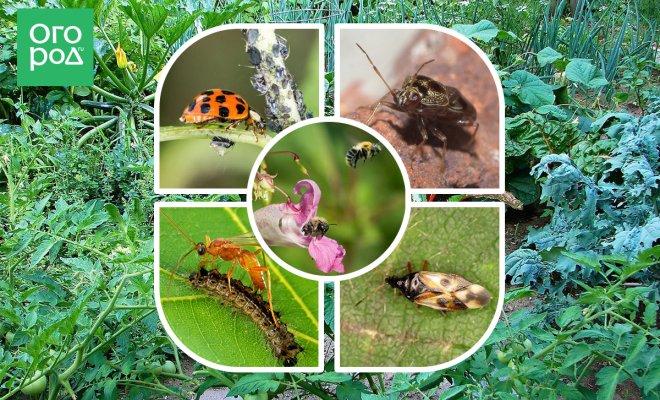 Как привлечь на участок полезных насекомых?