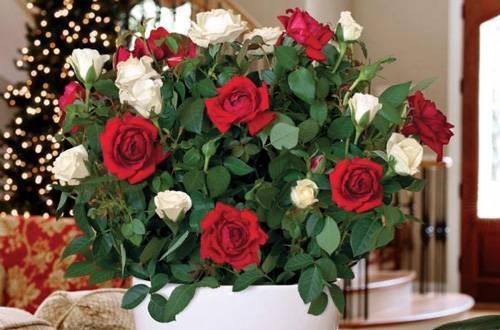 Забота о розе в горшке зимой. как ухаживать за растением в домашних условиях?