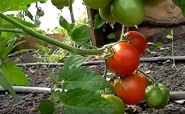 Томатная «дубрава»: как на «дубках» вырастить по 5 кг помидоров