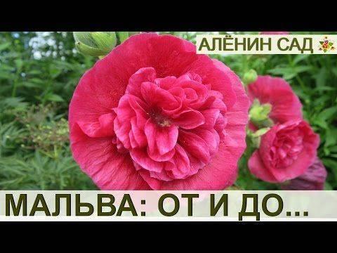 Выращивание шток розы из семян: 4 эффектных сорта, правила посадки и ухода