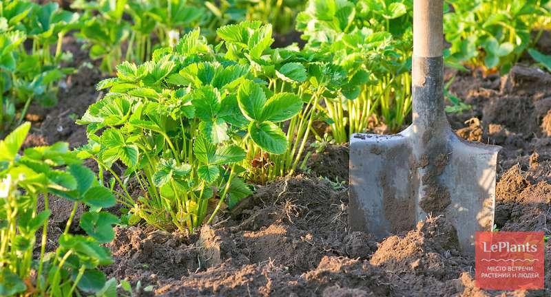 Чем подкормить клубнику весной - минеральные удобрения и народные средства для хорошего урожая
