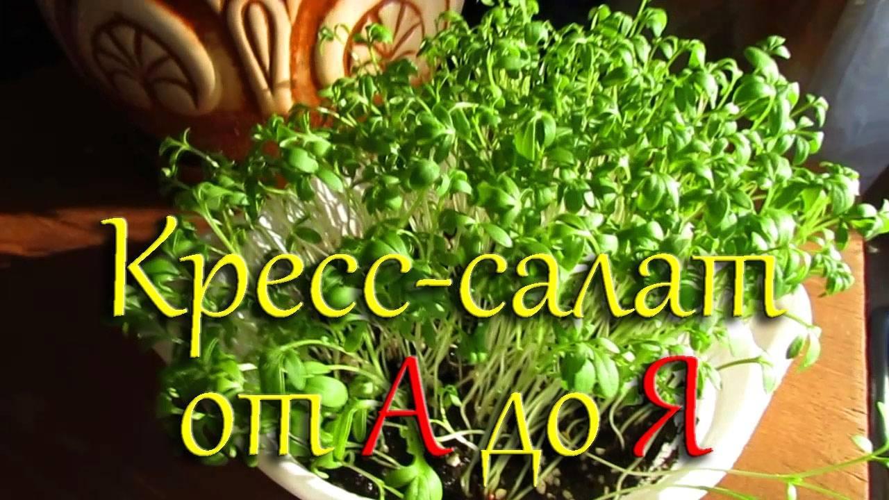 Кресс-салат – его сорта и тонкости выращивания