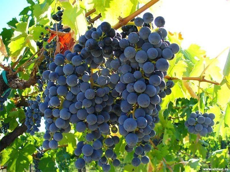 Правила выращивания винограда в средней полосе для новичков
