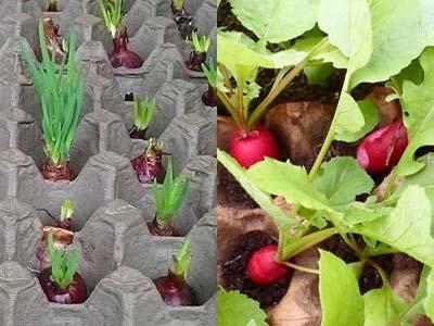 Все о посадке редиса в яичные лотки: как посеять и вырастить редиску дома