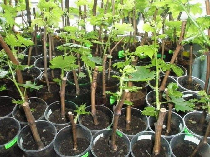 Зеленое черенкование древесных растений