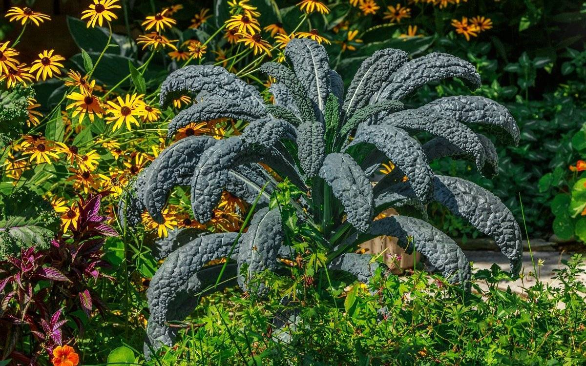 Капуста кале: 8 сортов и 10 советов по выращиванию и уходу