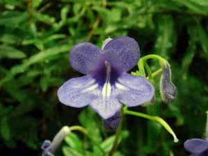 Стрептокарпусы — условия содержания, размножение, уход за цветком